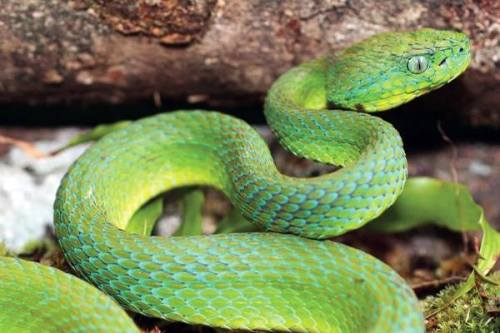 rhamphotheca:  Stunning new pit-viper discovered in Honduras by mongabay.com staff A stunning new species of pit-viper has been discovered in the cloud forest of Honduras. The venomous snake is described in the journal ZooKeys. The species is named Bothriechis guifarroi in honor of Mario Guifarro of Olancho, a conservationist who was gunned down in 2007 as he was working to set up a reserve for the indigenous Tawahka. A former hunter and gold miner, Guifarro had turned to conservation when he witnessed biologically-rich rainforests of Eastern Honduras being torn down for cattle ranches. The species is named Bothriechis guifarroi in honor of Mario Guifarro of Olancho, a conservationist who was gunned down in 2007 as he was working to set up a reserve for the indigenous Tawahka. A former hunter and gold miner, Guifarro had turned to conservation when he witnessed biologically-rich rainforests of Eastern Honduras being torn down for cattle ranches… (read more: MongaBay)               (photo: Josiah Townsend)