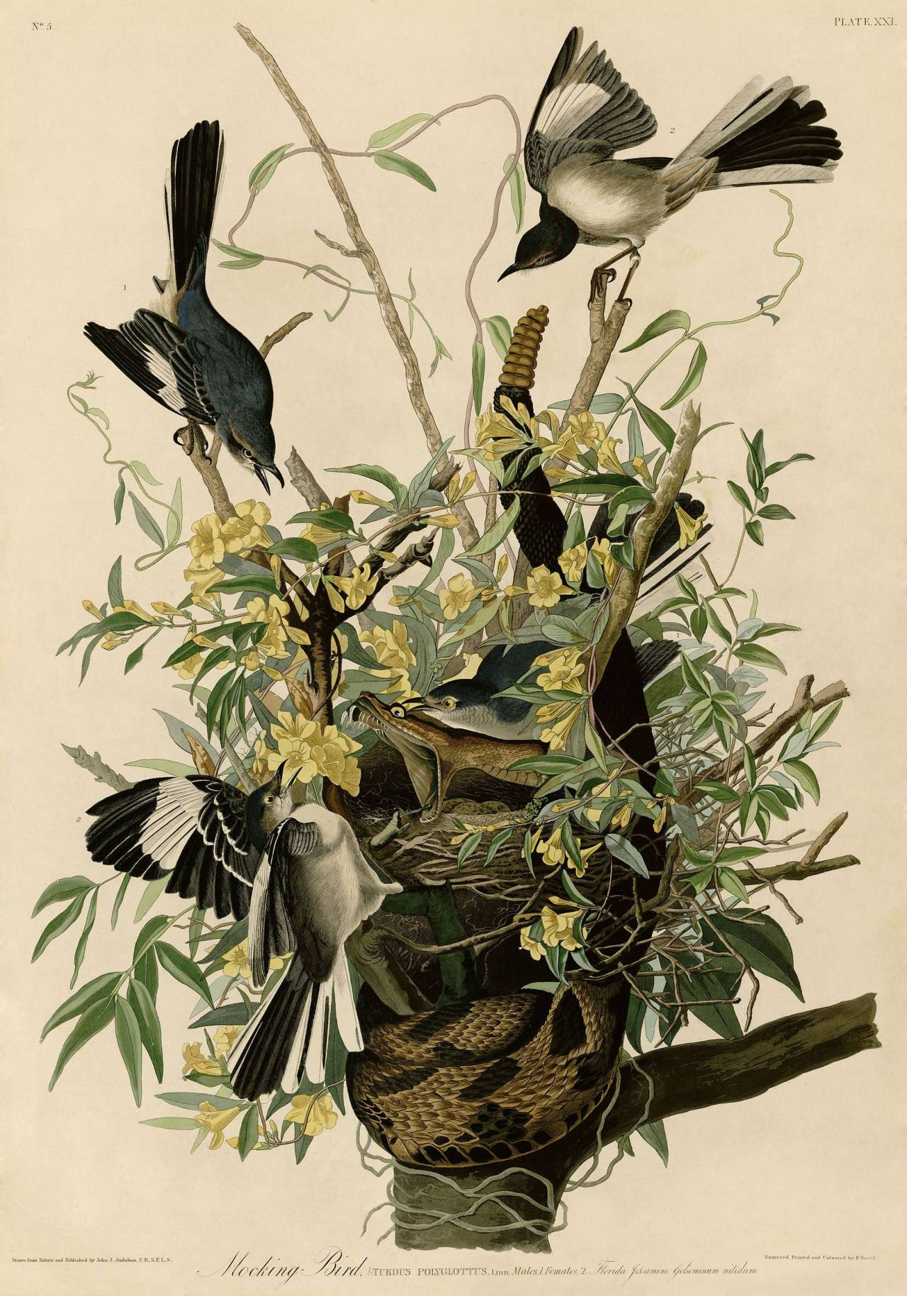 pnume:  Mocking Bird by John James Audubon