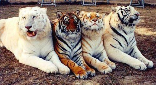 xx13mera7xx:  Far left, a liger, bred from a male lion/female tiger.  This breeding results in a cat with out a growth inhibitor gene as the parental lineage of this breeding does not include this gene from either parent.   Mid left, Bengal tiger, the most commonly known tiger Mid right, Tigon, bred from a male tiger/female lion. this breeding is rare and typically small getting a growth inhibitor gene from both parents. Far right, Siberian tiger, larger than Bengal and seasonally white to light orange fur.