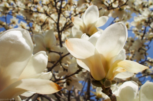 The Magnificence of Magnolias One of the most elegant of flowers. Outskirts of Beijing