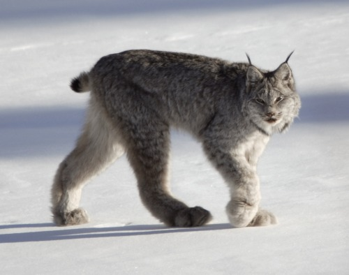 euclase:  Photo by Keith Williams. Canada Lynxes are neat. They look like a cat turned into a man turned into a cat again. And somewhere a dragon happened in there idk?