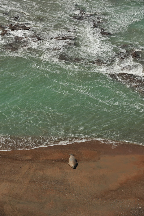 vurtual:  Elephant Seal on the shore (by The Wandering Fowl)
