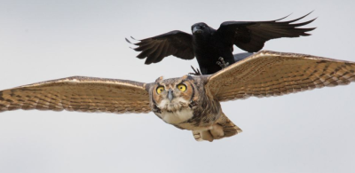 animals-riding-animals:  crow riding owl