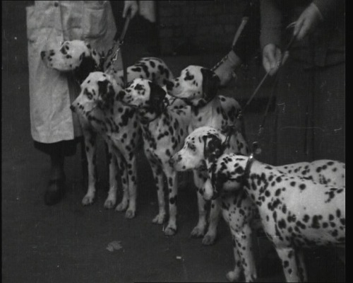 Crufts 2013 begins today in Birmingham. Here's footage of past competitions, from as early as 1926: http://www.britishpathe.com/search/query/crufts/order/oldestfirst