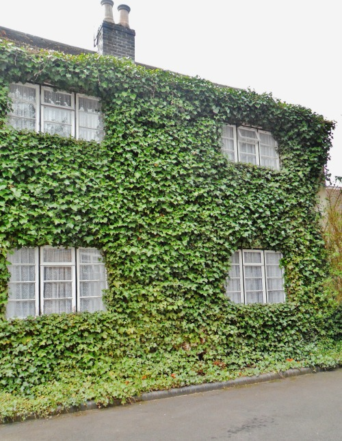 Cottage overgrown with Ivy, Witherley, Leicestershire, England All Original Photography by http://vwcampervan-aldridge.tumblr.com