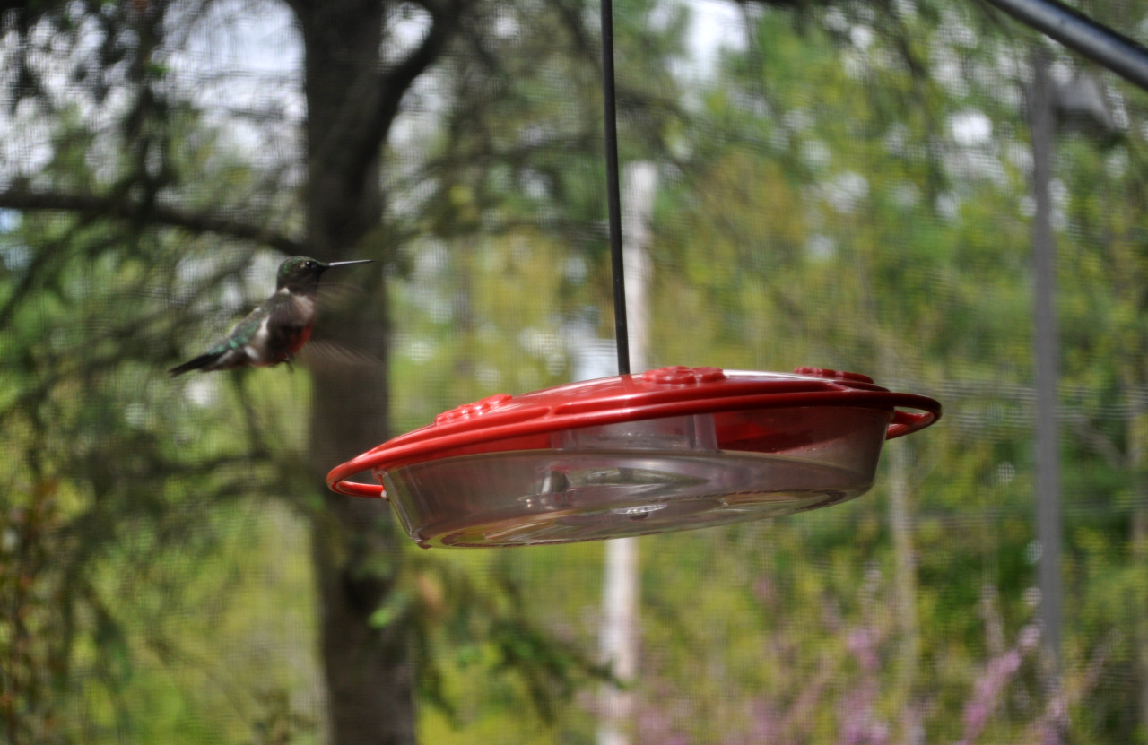 May 13, 2013 A ruby-throated hummingbird visits the feeder outside of our kitchen window. —photo by Justin Raymond