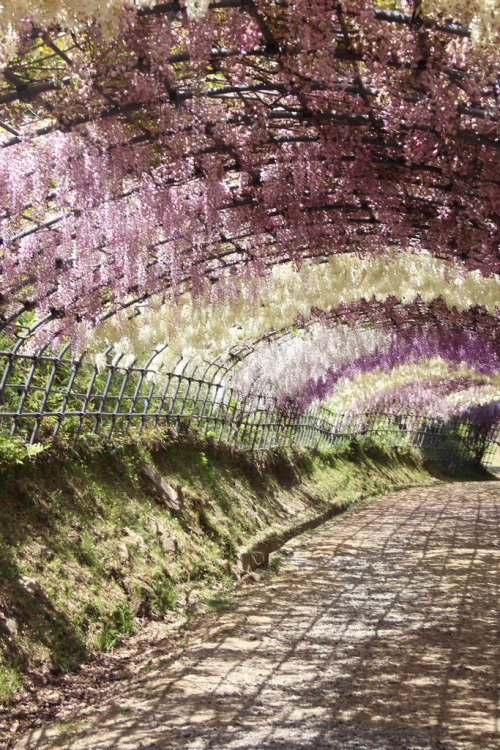 ethertune:  Wisteria Tunnel, Kawachi gardens (By ScoobyGabrielle)