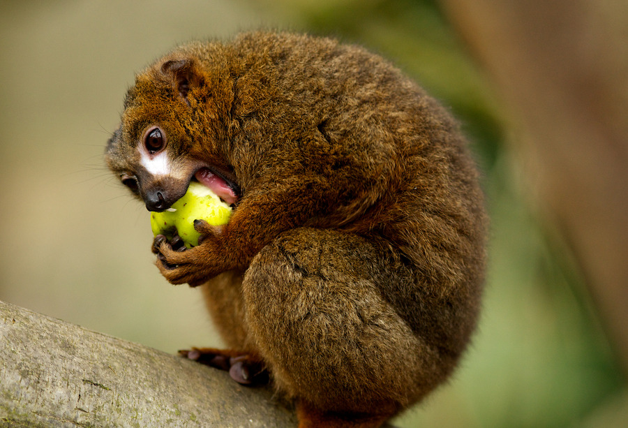 earthsfinest:  Red Bellied Lemur tucking into an Apple by Julian Bell