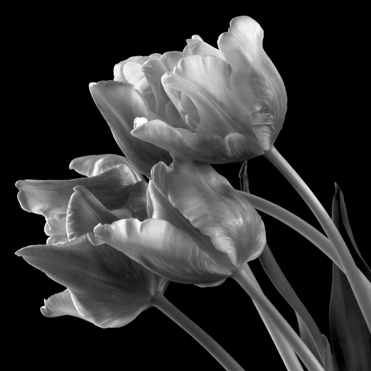 lensblr-network:  Five Tulips by Kristina Krause  (redzenradish.tumblr.com)