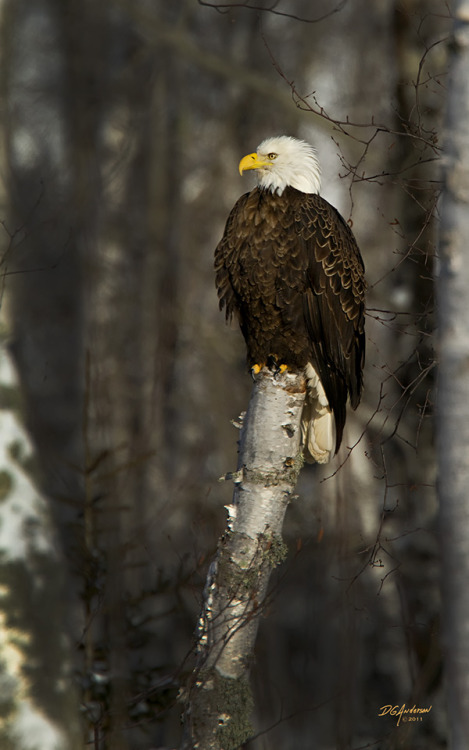 earth-song:   North Shore Eagle by ~DGAnder
