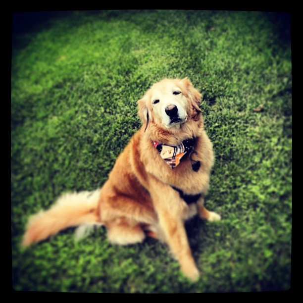 #goldenretriever #goldensoninstagram #dog #dogsofinstagram  #fluffy #green #spring  Enjoying another beautiful day in my yard. (at Oz)
