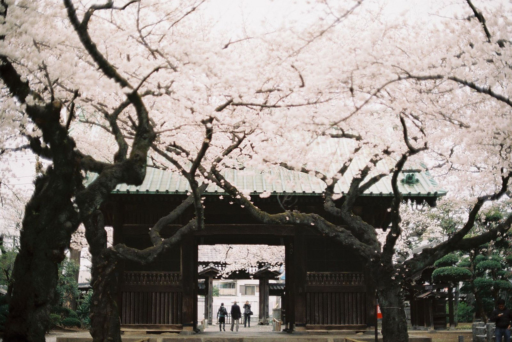 robot-heart:  sakura 2013 (by hiki.)