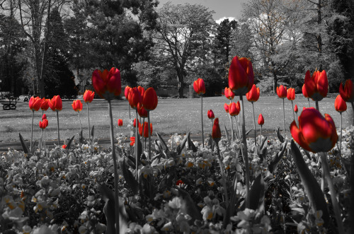 Red Tulips, photo: George Hodan.