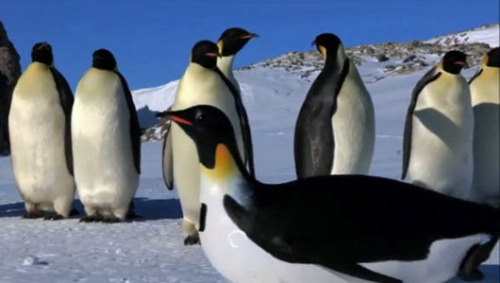 Robot cams reveal secret lives of penguins    Cameras disguised as snow, rocks and 3 different species of penguin provided unique footage for the BBC documentary, 'Penguins: Spy in the Huddle.'