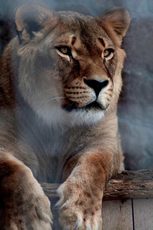 makxveli:   Wild Cat by Noxy Nox | Makxveli
