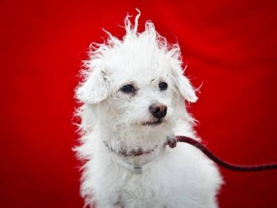 uhapets:  QUINCY is a timid year old white neutered male Terrier puppy who was found in Huntington Park on May 15th and brought to the Downey Shelter. Weighing seven pounds, Quincy walks nicely on leash but will benefit from formal training. He is not quite sure why he is here at the shelter where there are many dogs barking and lots of activity and we firmly believe that once he is in a secure home setting his personality will shine through. He gets along nicely with other dogs and we think we will do best with calm children. Quincy will make a super indoor pet for anyone in any living situation. Click image to watch video. Quincy's Impound Number is A4577296.  For more information on Quincy, please contact his Adoption Coordinator Viri at 626-318-2038 or the Downey Animal Care Center at 562-940-6898.   If you live near Los Angeles….