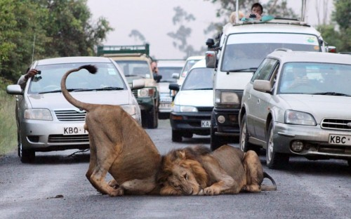 allcreatures:   Traffic comes to a standstill as two lions decide to roll around in the middle of a road on the edge of the Nairobi National Park in Kenya. Commuters were forced to watch the ten-minute display, before the lions left the road.  Picture: Gareth Jones / Barcroft Media (via Pictures of the day: 11 February 2013 - Telegraph)