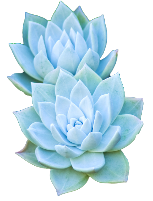 transparent-flowers:  Succulents.