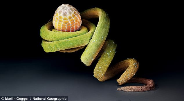 Perched on the tendril of a Passiflora plant, the egg of the Julia heliconian butterfly may be safe from hungry ants. This species lays its eggs almost exclusively on this plant's twisted vines. Read more: http://www.dailymail.co.uk/sciencetech/article-1307738/Revealed-The-startling-images-insect-eggs-taken-using-powerful-microscope.html#ixzz2Hh5vRQ6V
