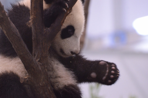 giantpandaphotos:  Yuhin at Adventure World in Wakayama, Japan, on March 1, 2013. © Patrick Harper.