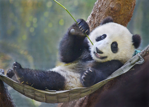 pandaspandas:  Xiao Liwu | San Diego Zoo, CA, USA | April 23, 2013 Stinkersmell