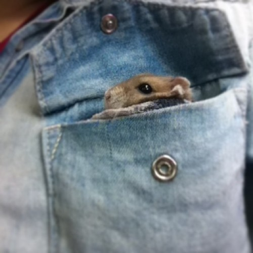 Today I have a hamster in my pocket. Meet Monty :) #toomuch
