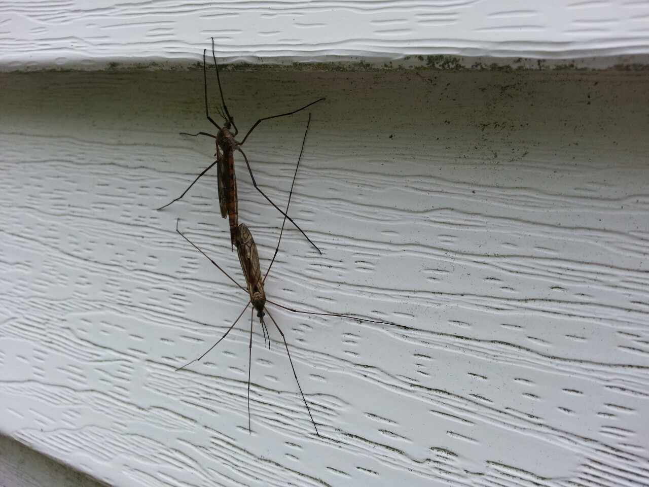 Mosquito Hawks mating on our house.