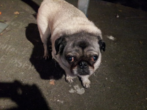 This blorpy pug was not happy at having to wait for her owner! She looked like a seal! Blorp!