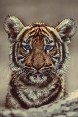 niick4:  blue-eyed tiger this is so cute askdjhaksjdhf (found on WeHeartIt)