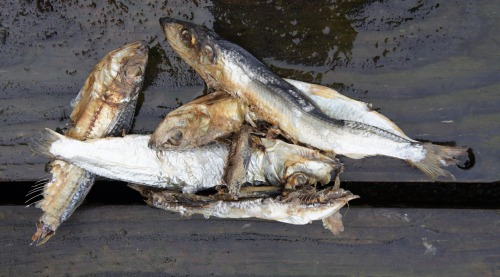 Commercial Fioshing Photo Of The Day | Herring Havoc It appears that herring spawned again in Sitka Sound over the past week.  Its obvious that the S…View Post