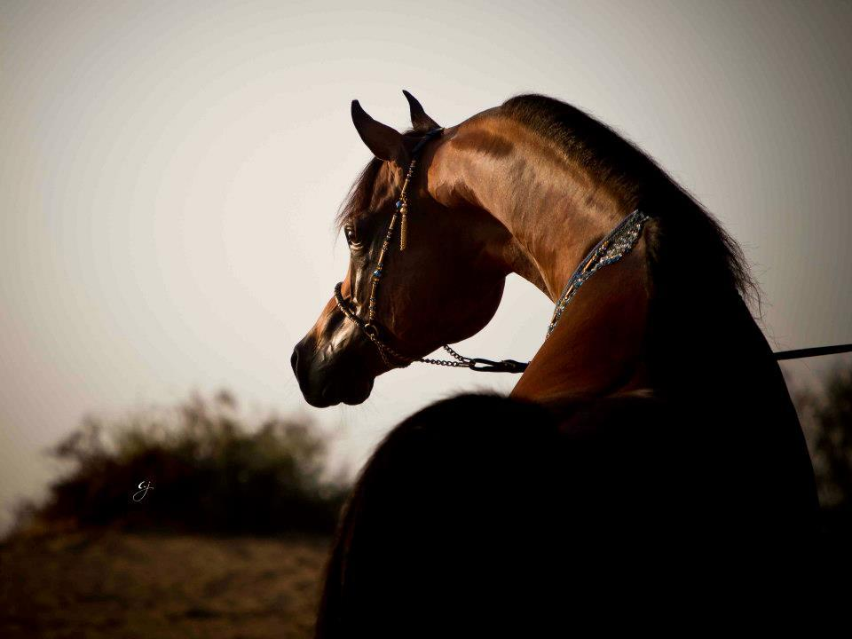toknow-thearabian:  Marajj Marwan Al Shaqab X RGA Kouress Photo by Glenn Jacobs
