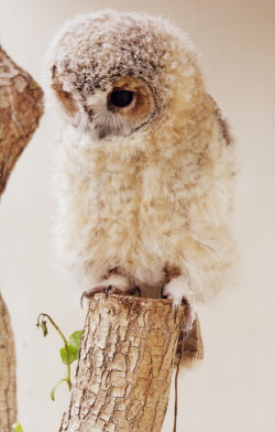 maxitendance:  Sweet Little Owl.
