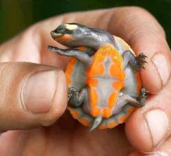 rob1ch:    This beautiful animal is Red-bellied short-necked turtle. It is found in Australia and Papua New Guinea, and in Australia it is highly endangered. These stunning colours are highly pronounced as infants and juveniles, but fade as they age. They reach about ten inches (25cm) in length.