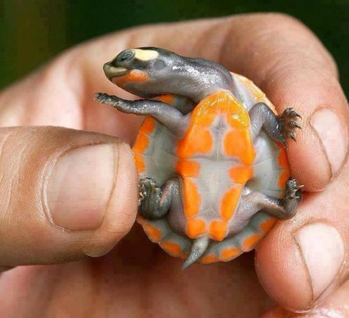 rob1ch:    This beautiful animal is Red-bellied short-necked turtle. It is found in Australia and Papua New Guinea, and in Australia it is highly endangered. These stunning colours are highly pronounced as infants and juveniles, but fade as they age. They reach about ten inches (25cm) in length.         its so gross but cute