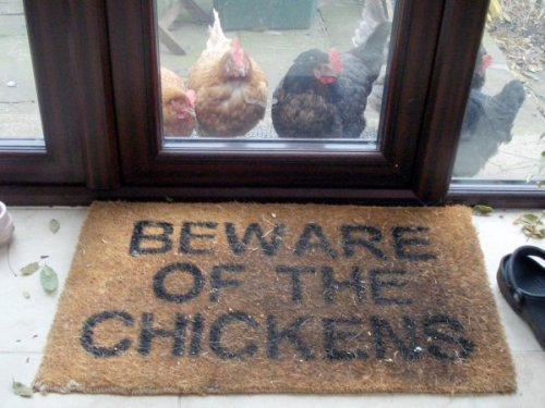collegehumor:  Beware of the Chickens Those roosters can be real cocks.  PUMPKIN!