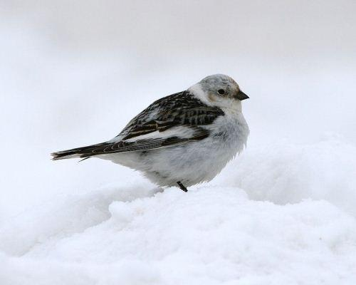 10 remarkable Arctic birds