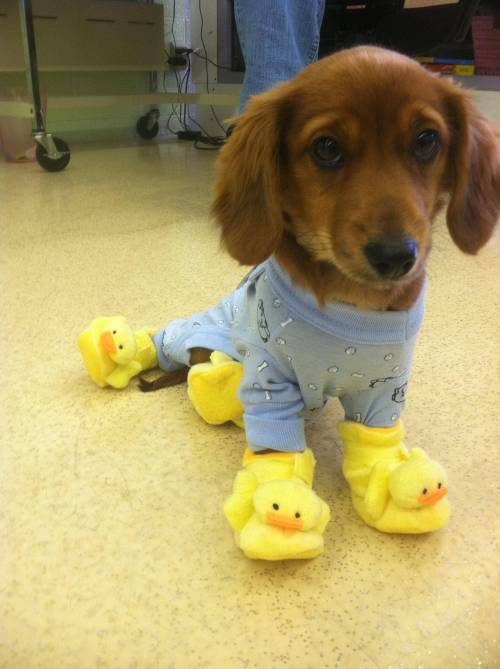 magicalnaturetour:  Dog wearing pajamas and Ducky slippers