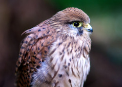 wingedpredators:  European Kestrel (Photo by Richard Varian)