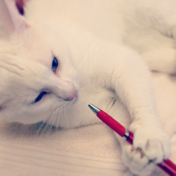 Dumbs stole my pen!!! How am I supposed to get any work done? #funnycat, #rotten, #blueeyes, #shd, #shorthair, @hcvta, @annerszz_92