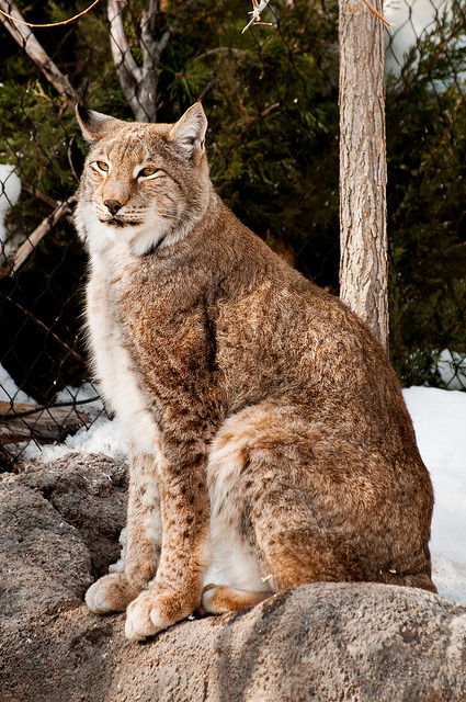 theanimaleffect:  siberian lynx by Sam Scholes on Flickr.