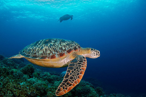 theoceaniswonderful:  Turtles at Apo Island by steve de neef