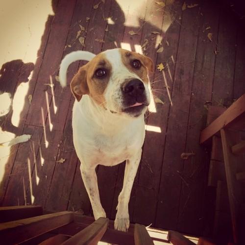 Maxaroni, Maxaroni, wherefore art thou Maxaroni? #max #silly #puppy #romeoandjuliet #fall #sweetboy #rescue #puppylove