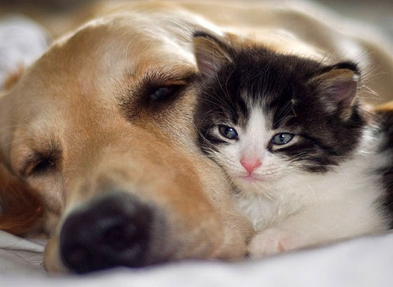 cats-and-dogs-together:  Golden snuggling with a cute kitten.
