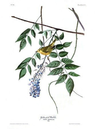 Plate 95 of The Birds of America by John Audubon, the Yellow-poll Warbler, now more commonly known as the Palm Warbler.