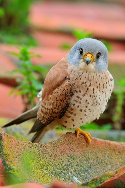 lizardking90:  Male Kestrel -nature gallery fb
