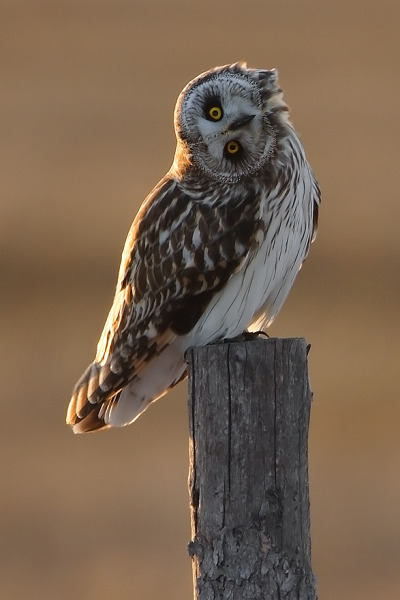 fairy-wren:  Short Eared Owl (photo by Mark Bridger)