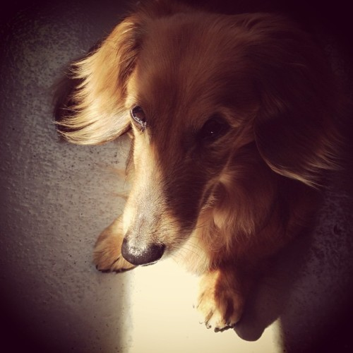 光と影とダックスフント Dachshund with light and shadow #light #shadow #japan #tokyo #dog #dogs #longdog #loveadachshund  #doglover #dachshund #dogstagram #dogsofinstagram #pet #petstagram #happy_pet #犬バカ部 #ダックス #短足部 #犬 #イヌ #ワンコなしでは生きて行けません会 #dogoftheday #dogofthedayjp #photooftheday #webstagram #instagood #picoftheday #instadaily #instaphoto