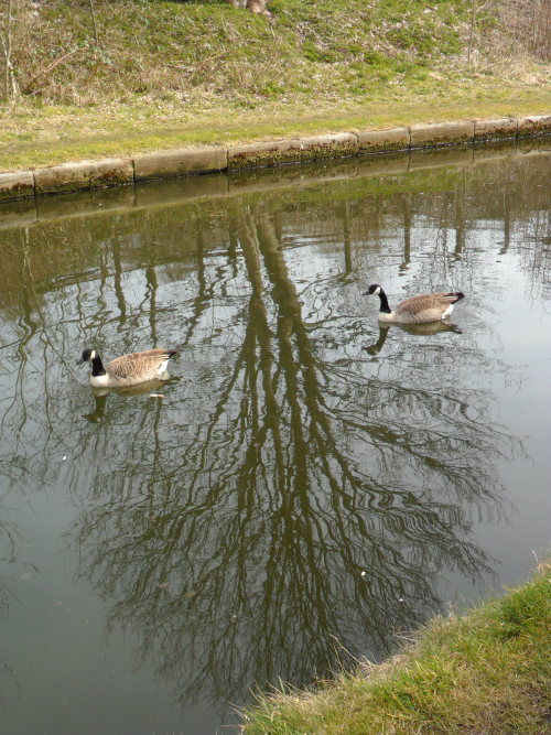 Canada geese on the Tame Valley Canal, Hamstead, Birmingham, England. All Original Photography by http://vwcampervan-aldridge.tumblr.com