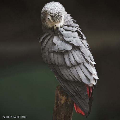 only-parrot-photos:  African Grey ParrotFollow me on http://bit.ly/RgHHQm
