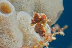 rhamphotheca:  How Many Seahorse Species? There are 47 different species of seahorses and 14 of those were discovered in the last eight years, including Pontoh's pygmy seahorse (Hippocampus pontohi), which was officially named in 2008. Seahorses' ability to change their color and shape to blend in with their environment makes identification of individual species challenging. Because of this, some researchers previously thought there were as many as 200 seahorse species in the world, while others thought there were as few as 20. However, advances in genetic research are helping to clarify some of the differences between closely related species. (CREDIT: Patrick Decaluwe / Guylian Seahorses of the World 2010, Courtesy of Project Seahorse) (via: Smithsonian's Ocean Portal)